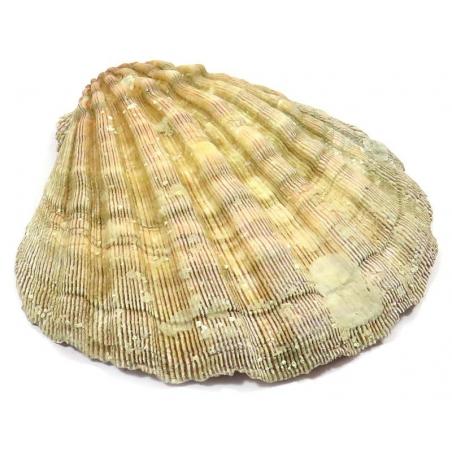 Saint Jacob's shell